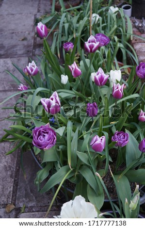A recycled tin bath lasagne planted with tulips, hyacinths and alliums. Pictured in late April when the hyacinths have finished and the alliums are yet to flower. Tulips Rain Fusion and Blue Diamond