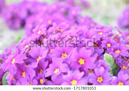Primrose ordinary (Primula vulgaris), or primrose in the spring garden. Primroses in the spring. Beautiful lilac primrose flowers bloom garden. #1717801051