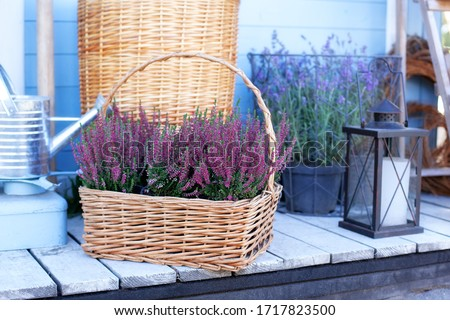 Blooming heather Calluna vulgaris in pot, flowershop. Heather vulgaris bloom of pink flowers in basket on veranda. Decorative garden flowering plant. Heather Violet calluna decorating garden. lavender #1717823500