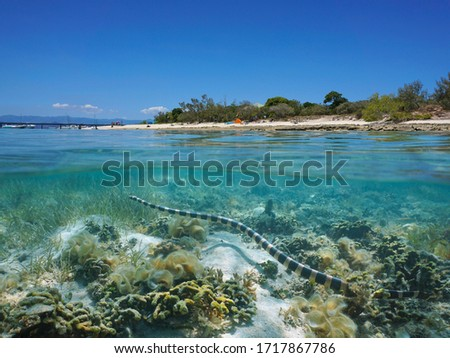 A yellow-lipped sea krait snake underwater near the shore of Signal island, split view over and under water surface, New Caledonia, south Pacific ocean, Oceania #1717867786