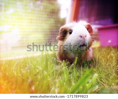 Beautiful brown and white guinea pig eating grass on a pastel colors background Royalty-Free Stock Photo #1717899823