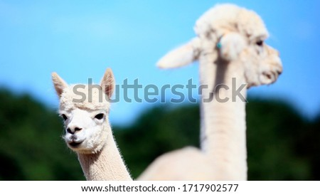 2 white alpaca sheeps in the nature #1717902577