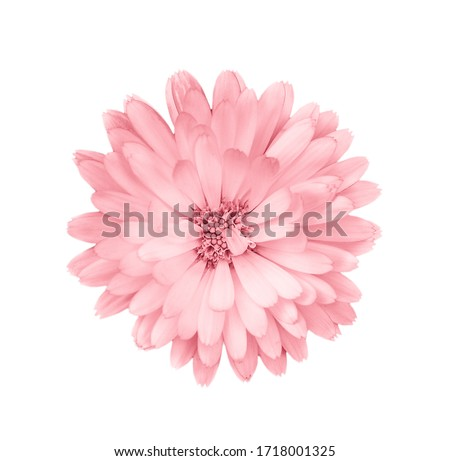 Coral or pink daisy flower. Royalty-Free Stock Photo #1718001325