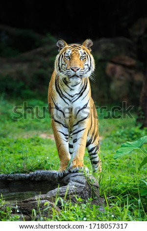 The tiger stood with his eyes staring.