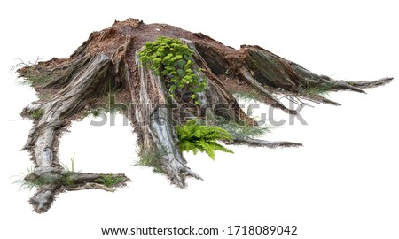Cut out tree stump. Mossy tree roots. Old tree stub surrounded by green foliage. Dead tree isolated on white background. High quality clipping mask. #1718089042