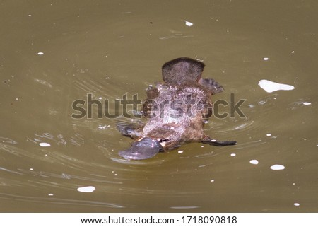 Platypus swimming on the surface of a river. Frontal close up picture. Broken river, Eungella national park, Queensland, Australia, Oceania