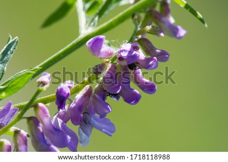 Sweet pea Lathyrus odoratus is a flowering plant in the genus Chin in the family Fabaceae leguminous, native of Sicily, in Cyprus, in the south of Italy and on the islands of the Aegean Sea. #1718118988