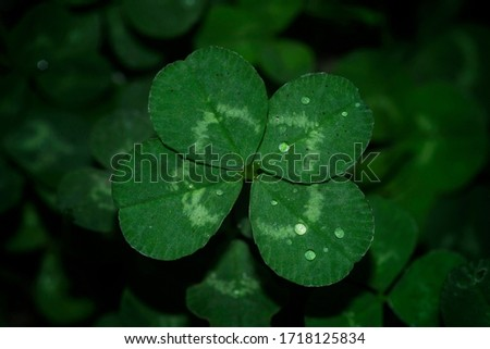 top and closer view of four leaf clover on blurred background of green leaves #1718125834