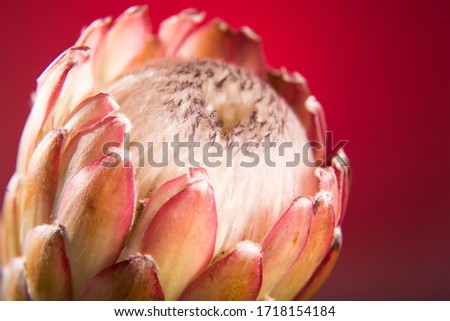 Close up studio photography of a Protea flower. Photo of blooming pink King Protea plant against red background. Extreme closeup. Beautiful flower macro shot for background use.