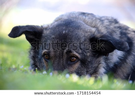 Mixed breed shepherd dog lying in the grass. #1718154454