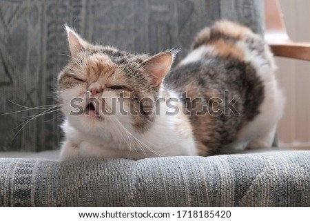 A small kitty in heat  sits in an armchair and bends in a characteristic way. This is the Exotic cat breed. It is similar to a Persian cat, but has short hair. Royalty-Free Stock Photo #1718185420