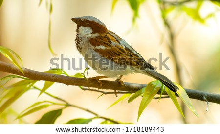 Sparrow, House Sparrow ( Passer domesticus ) sitting on tree branch at Kolkata, India.