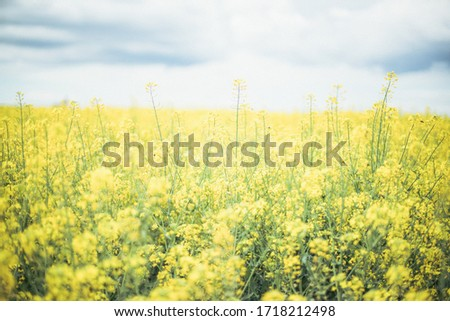 Canola field, very lively and densely. Flowers are yellow and there is a lot small flowers on one stalk. Oil from this plant is very healthy and useful for preparing food. #1718212498