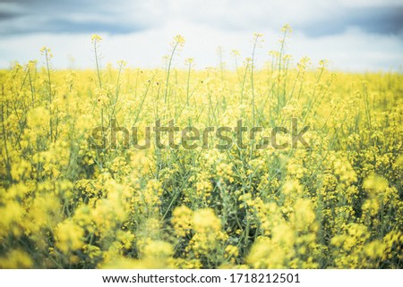 Canola field, very lively and densely. Flowers are yellow and there is a lot small flowers on one stalk. Oil from this plant is very healthy and useful for preparing food. #1718212501