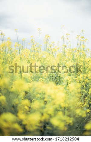Canola field, very lively and densely. Flowers are yellow and there is a lot small flowers on one stalk. Oil from this plant is very healthy and useful for preparing food. #1718212504