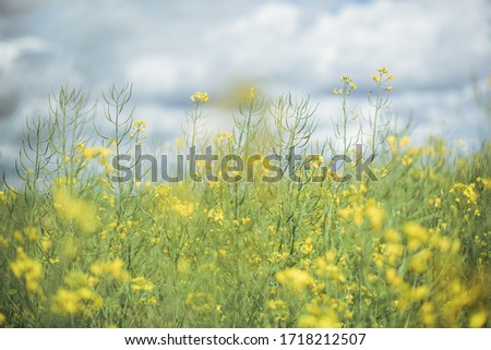 Canola field, very lively and densely. Flowers are yellow and there is a lot small flowers on one stalk. Oil from this plant is very healthy and useful for preparing food. #1718212507