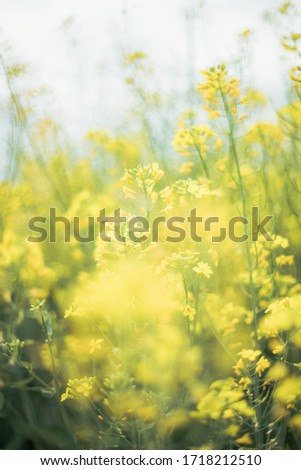 Canola field, very lively and densely. Flowers are yellow and there is a lot small flowers on one stalk. Oil from this plant is very healthy and useful for preparing food. #1718212510