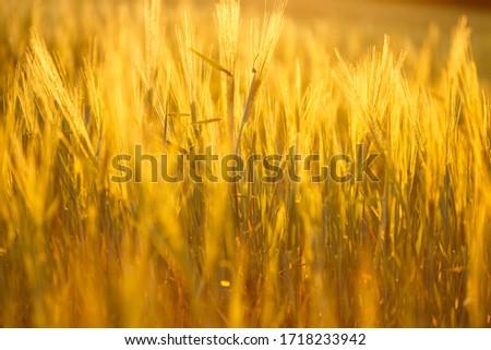 Ripe wheat on the field in golden glow of evening sun. #1718233942