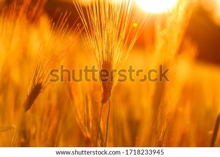 Ripe wheat on the field in golden glow of evening sun. #1718233945