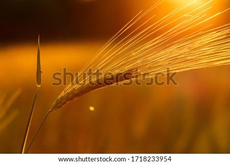 Ripe wheat on the field in golden glow of evening sun. #1718233954