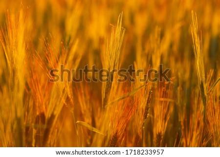 Ripe wheat on the field in golden glow of evening sun. #1718233957