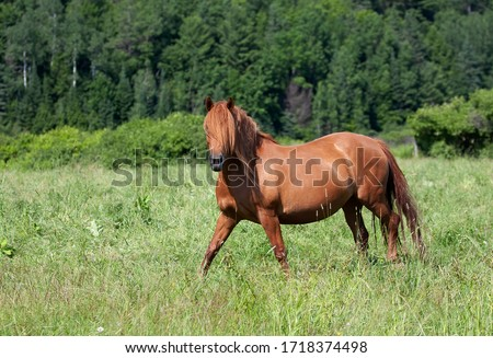 Brown horse with beautiful mane walking through a meadow in Quebec, Canada #1718374498