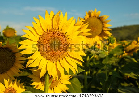 Sunflower cultivation at sunrise in the mountains of Alicante, Spain. #1718393608
