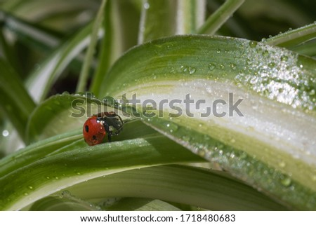 A red ladybug sits on a grass with drops and basks in the spring sun. Summer morning. Cute and beautiful macro for wallpaper or photo picture with copy space.