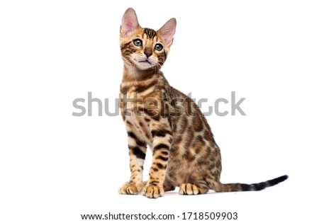 bengal cat sitting in full growth on a white background Royalty-Free Stock Photo #1718509903