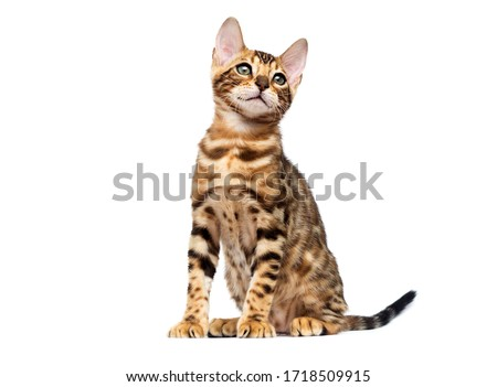 bengal cat sitting on a white background Royalty-Free Stock Photo #1718509915