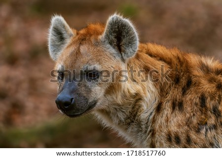 Spotted Hyena - Crocuta crocuta, picture of powerfull African carnivore in Etosha National Park, Namibia, Africa.