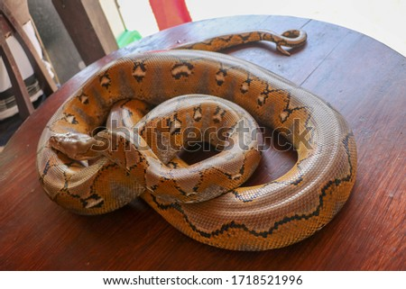 Albino reticulated python : python snake yellow lying on the wooden table. Close up of Big Python regius or Royal Python is a large non poisonous snake. Pattern Boa Snake skin abstract textured