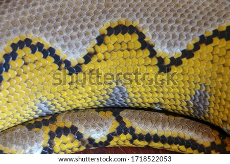 Albino reticulated python. Python snake yellow lying on the wooden table. Close up of Big Python regius or Royal Python is a large non poisonous snake. Pattern Boa Snake skin abstract textured.