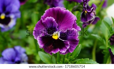 Purple pansy flower in the garden