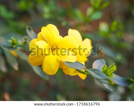 Primrose Jasmine or Jasminum mesnyi, bright yellow flowers, close up. Japanese or Chinese Jasmines is woody vine, deciduous shrub, evergreen, flowering plant in the olive family, Oleaceae, Jasmineae. #1718616796