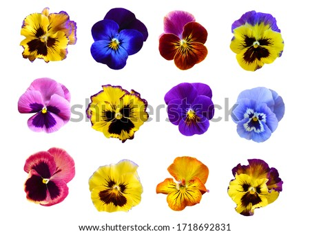 Pansy flowers on White background