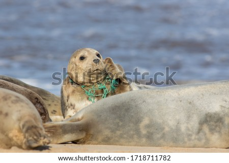Animal welfare. Seal caught in plastic fishing net. Marine pollution. Wild seal with fishing net caught around its neck. Sad distressing animal meme image. Threat to wildlife from man-made pollution. Royalty-Free Stock Photo #1718711782