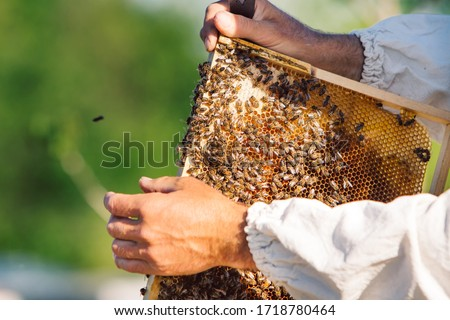 Honey bee frame from a hive with collony collapse disorder. Frame covered with bees. #1718780464