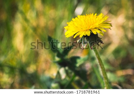 dandelion flower (Taraxacum officinale) in nature