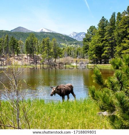 A moose drinking from a lake. In the Rocky Mountain National Park, with a pine forest and distant blue green mountains #1718809801