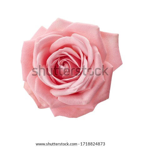 Beautiful pink rose isolated on white background. Pink rose blossom #1718824873