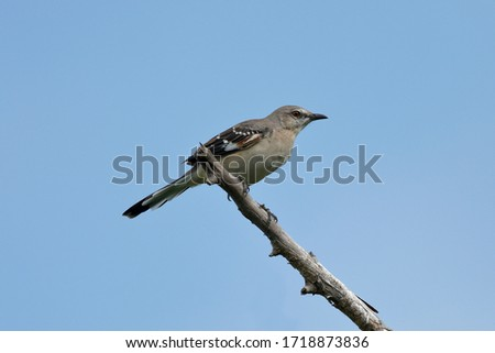 The northern mockingbird is the only mockingbird commonly found in North America.