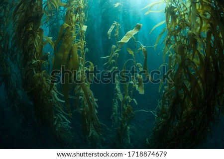 Forests of giant kelp, Macrocystis pyrifera, commonly grow in the cold waters along the coast of California. This marine algae reaches over 100 feet in height and provides habitat for many species. Royalty-Free Stock Photo #1718874679
