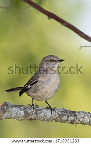 Northern Mockingbird perched on a tree