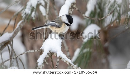 Black-Capped Chickadee on a Snowy Branch #1718955664