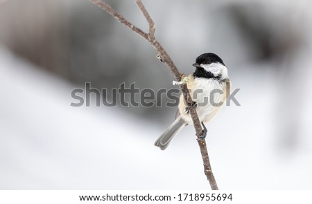 Black-Capped Chickadee on a Snowy Branch #1718955694