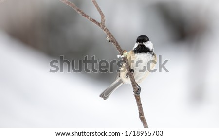 Black-Capped Chickadee on a Snowy Branch #1718955703
