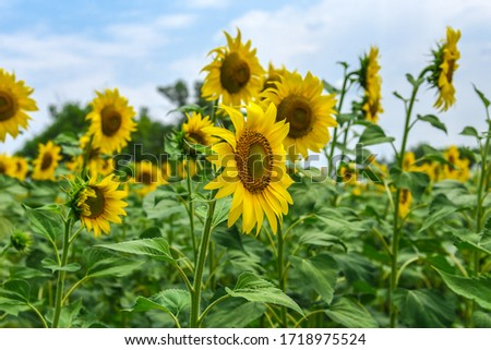 field of sunflowers against a blue sky, frame shot with selective focus #1718975524