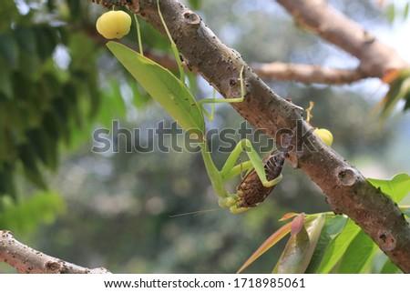 Praying mantis eating insect on tree.Mantis religiosa, action scene #1718985061