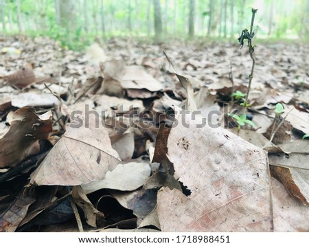 The dry leaves in the rubber plantation #1718988451